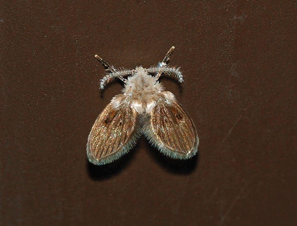 Hartvormige vliegjes, de motmuggen