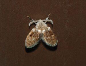 Motmuggen in kruipruimte, zo kunnen ze er uit zien.