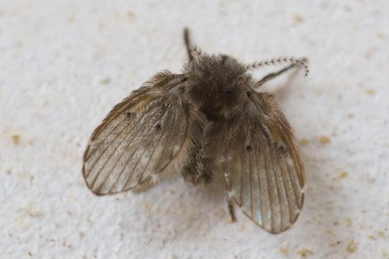 Rioolvliegjes en Motmuggen (Clogmiaalbipunctata)
