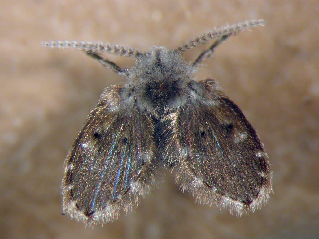 Vliegjes in badkamer bestrijden - Dit is de Clogmia albipunctata